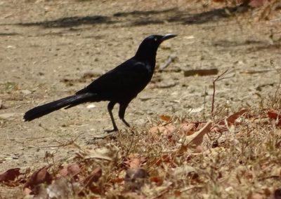 nicaraguan bird