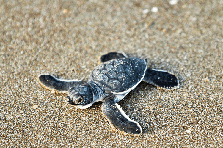 Baby Turtle Hatchling on beach