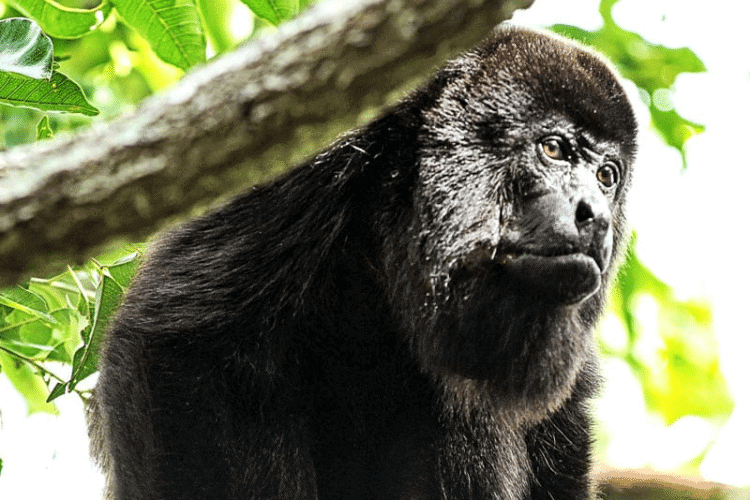 Howler Monkey in Jungle trees